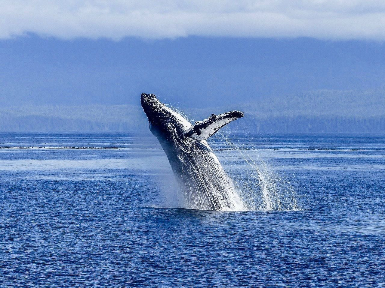 Baleine à bosse Colombie